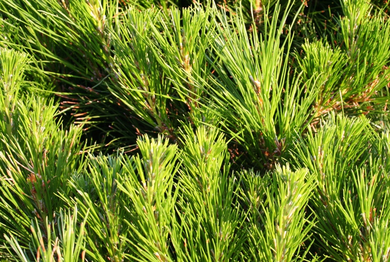 Christmas Trees Online Melbourne