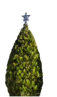 Real Christmas tree Large 10 Ft Melbourne