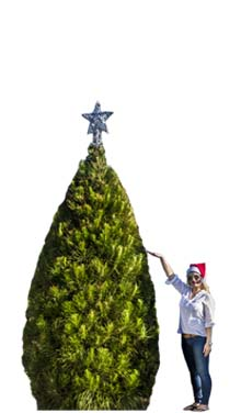 Real Christmas Tree Large 9Ft Melbourne