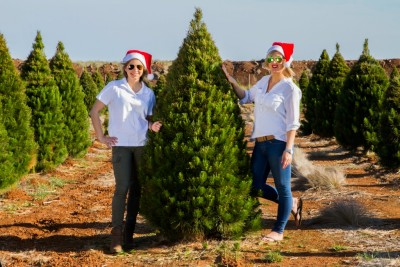 Pine Christmas Tree delivered