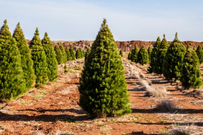 Pine Christmas Tree Melbourne delivered